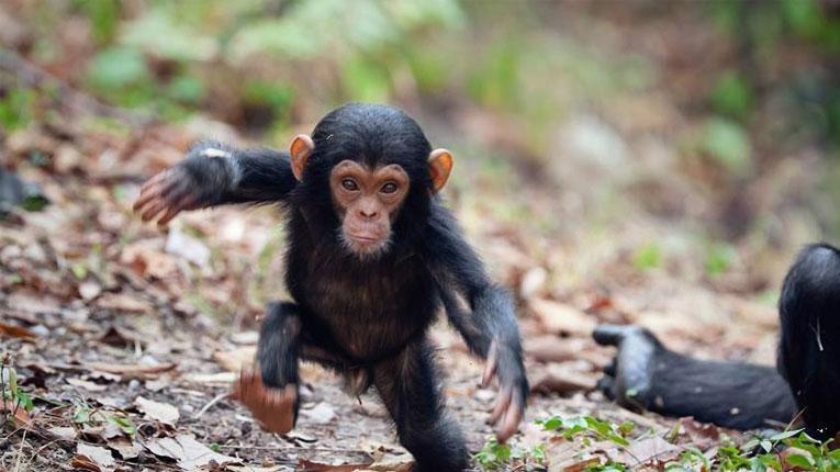 ارتباط ایدز و میمون