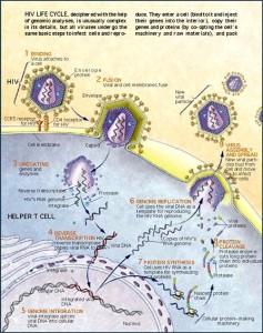 چرخه زندگی اچ آی وی